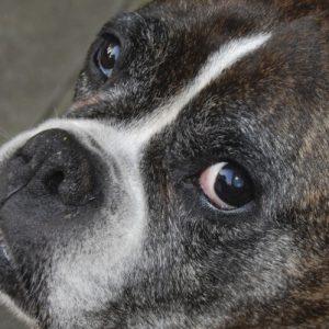 Cushings Disease in Dogs